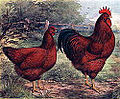 120px-Rhode_island_red_1915_lithograph