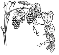 649px-Grapevine_964_(PSF)