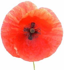 541px-Poppy-closeup