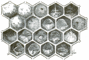 American_foulbrood_honeycomb_drawing